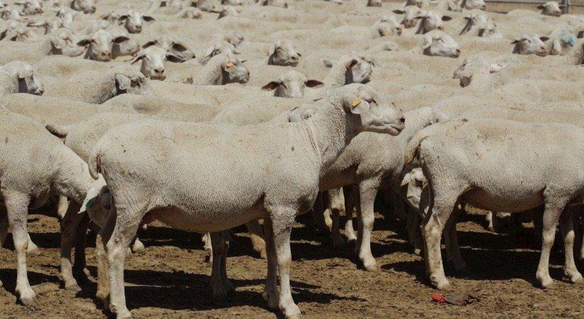 Anadolu Merinos Koyunu Özellikleri ve Yetiştirme