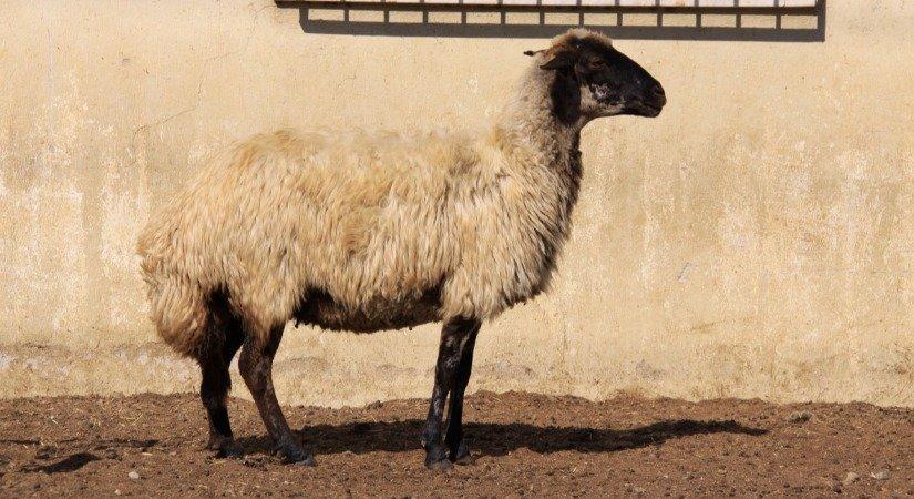 Çine Çaparı Koyunu Özellikleri ve Çine Çaparı Yetiştirme
