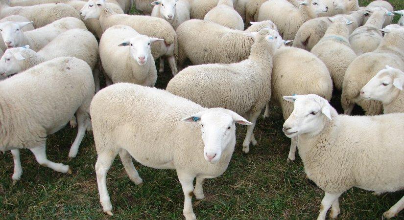 Dağlıç Koyunu Özellikleri ve Dağlıç Yetiştirme