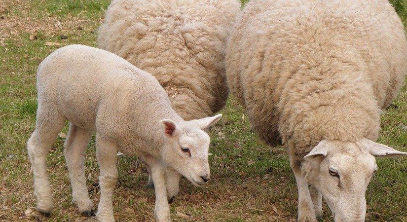 Gökçeada Koyunu Özellikleri ve Gökçeada Koyunu Yetiştirme