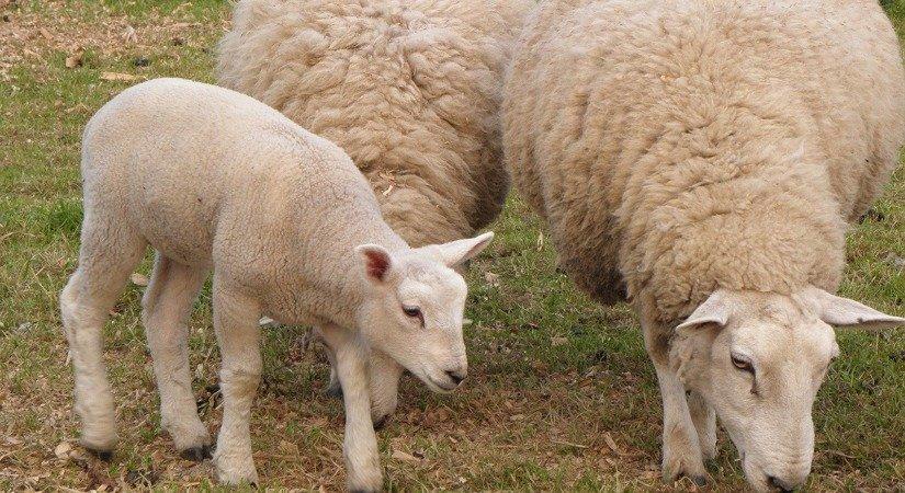 Hemşin Koyunu Özellikleri ve Hemşin Koyunu Yetiştirme