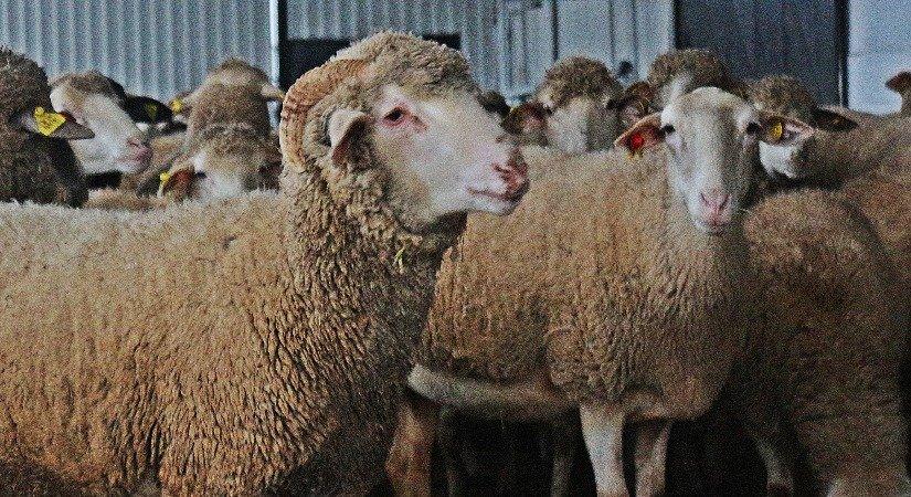 Herik Koyunu Özellikleri ve Herik Koyunu Yetiştirme