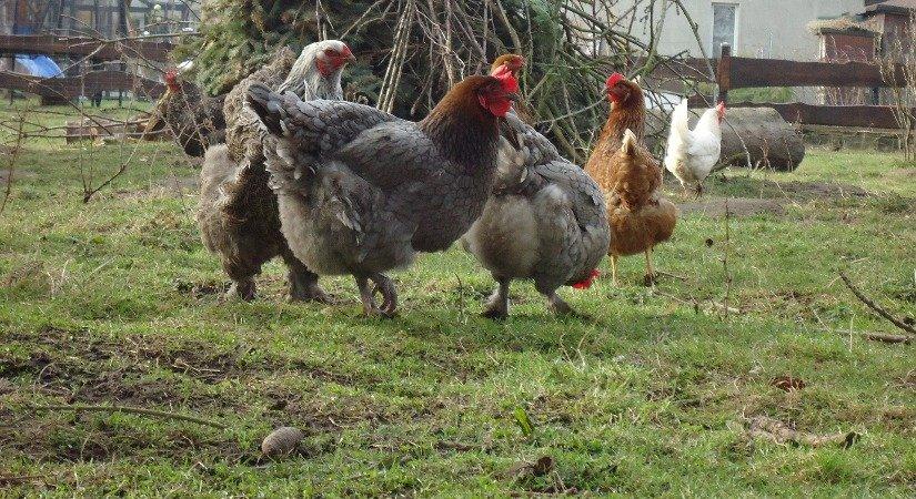 Kanatlı Hayvan Yetiştiriciliği İle İlgili İş Fikirleri