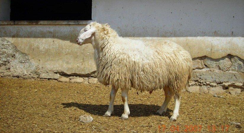 Karacabey Merinos Koyunu Özellikleri ve Yetiştirme