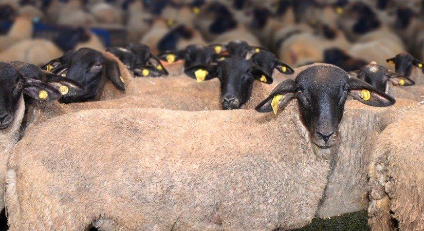 Karakaya Koyunu Özellikleri ve Karakaya Koyunu Yetiştirme