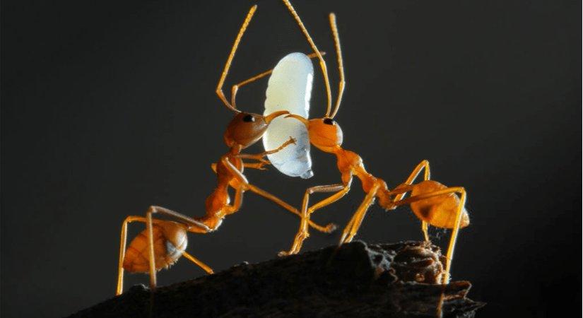 Güzellik İçin Karınca Yumurtası Yağı İthal Ediliyor