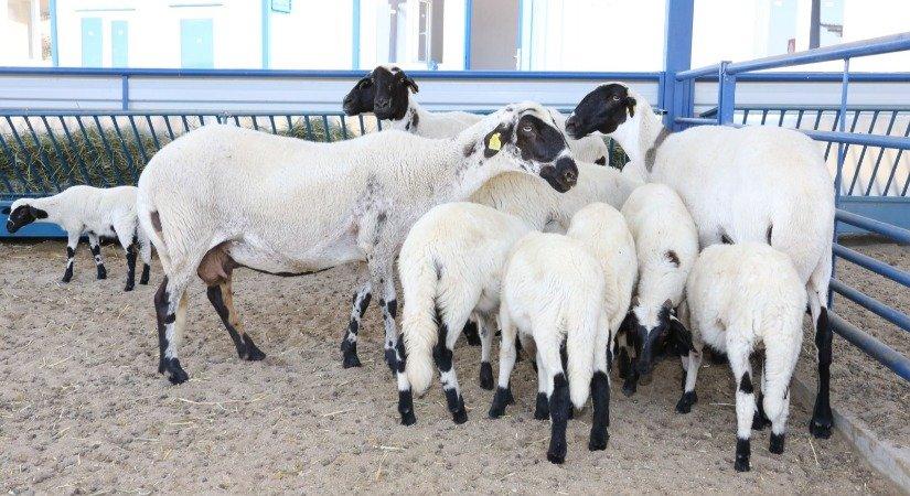 Karya Koyunu Özellikleri ve Karya Koyunu Yetiştirme