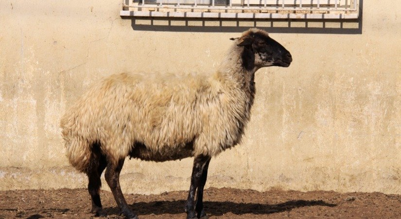 Kıl Keçisi Yetiştirmek ve Kıl Keçisi Özellikleri