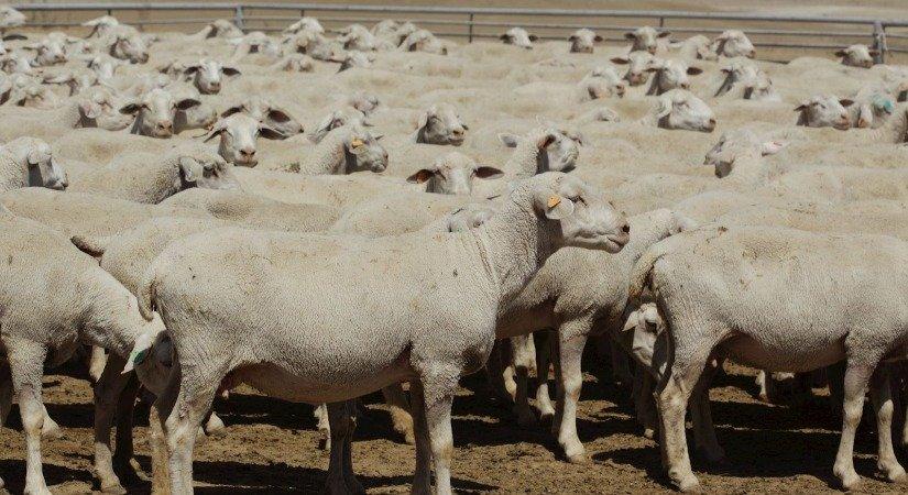 Kıvırcık Koyunu Özellikleri ve Kıvırcık Koyunu Yetiştirme