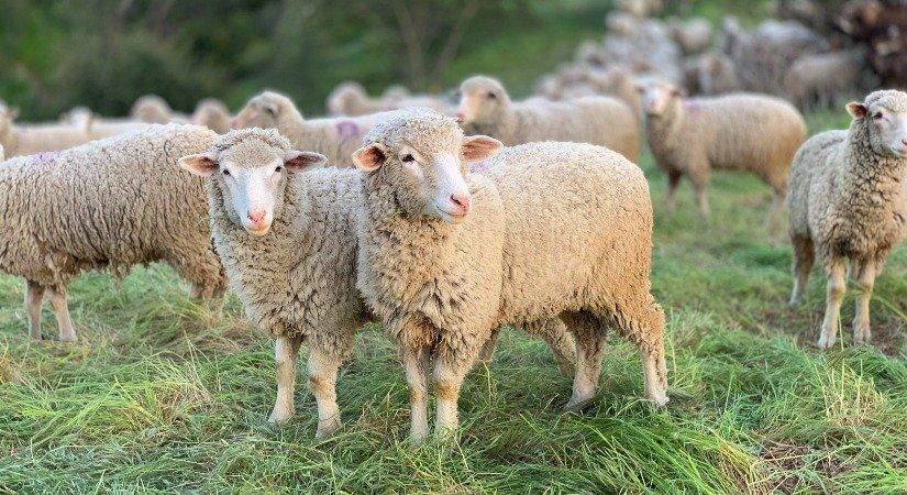 Koyun ve Keçi Yetiştiriciliği ile Et, Süt ve Yünden Para Kazanma