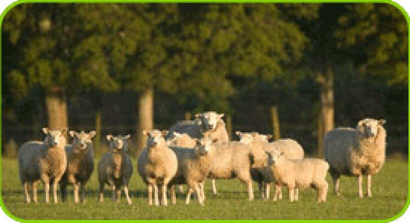 Koyun Tesisi (İşletmesi) Kurmak