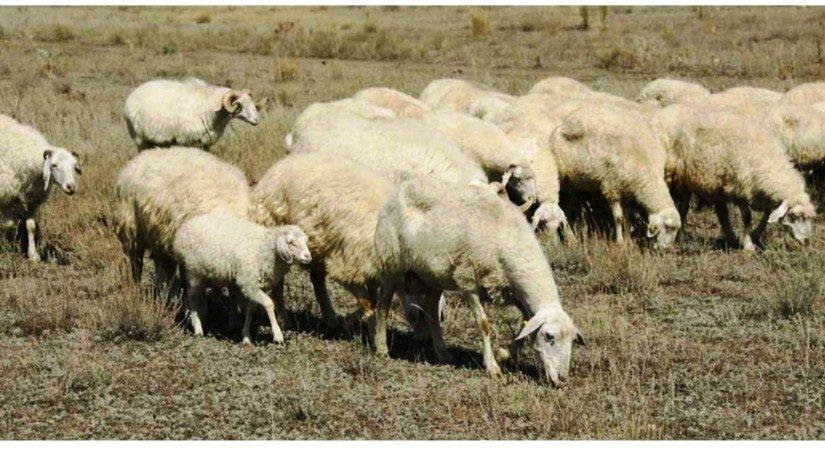 Norduz Koyunu Özellikleri ve Norduz Koyunu Yetiştirme