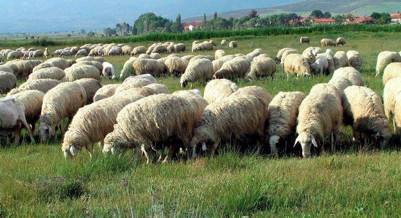 Pırlak Koyunu Özellikleri ve Pırlak Koyunu Yetiştirme