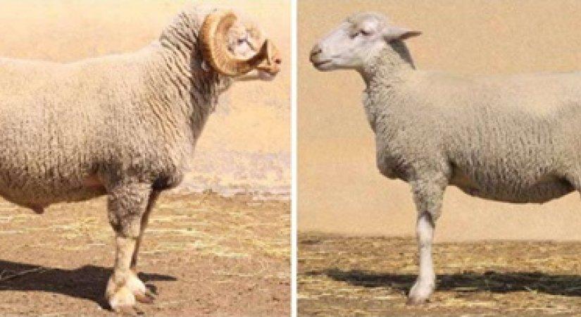 Ramlıç Koyunu Özellikleri ve Ramlıç Koyunu Yetiştirme