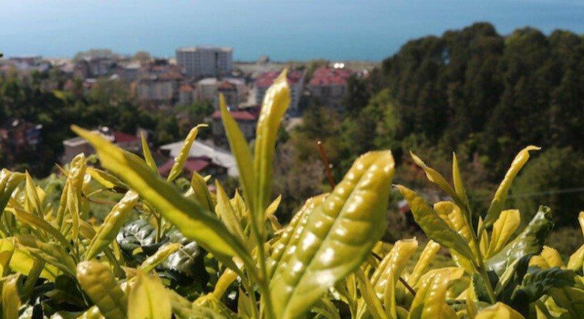 Rize'de 6 Bin 900 TL Maaşla 2 Bin Çay İşçisi Arıyorlar