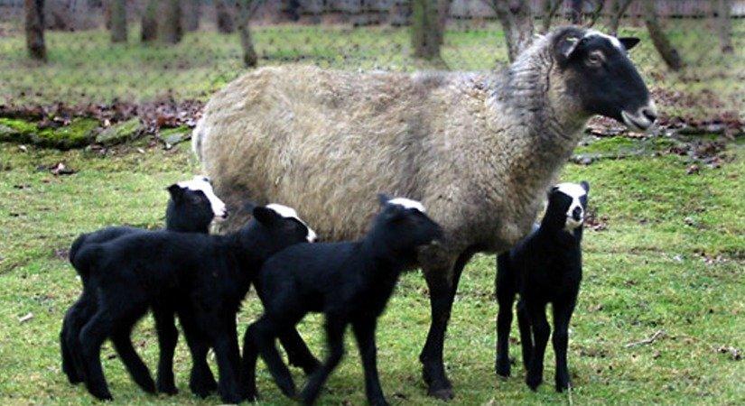 Romanov Koyunu Üretimi Başladı