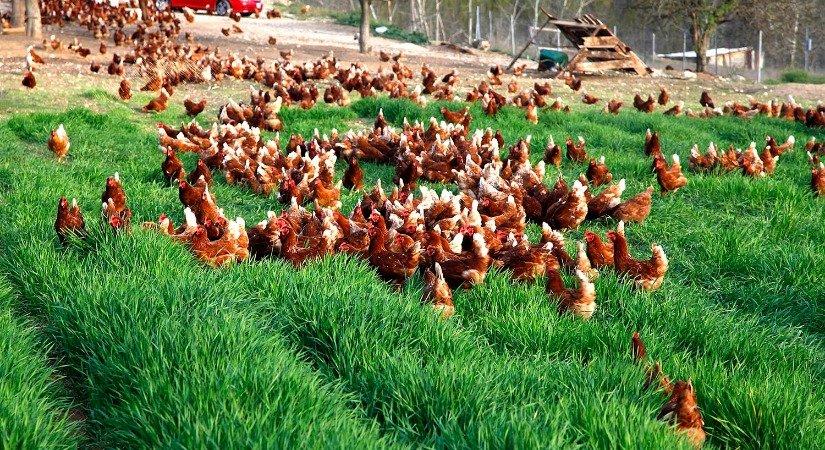 Küçük Ölçekli Tavuk Çiftliği Projesi
