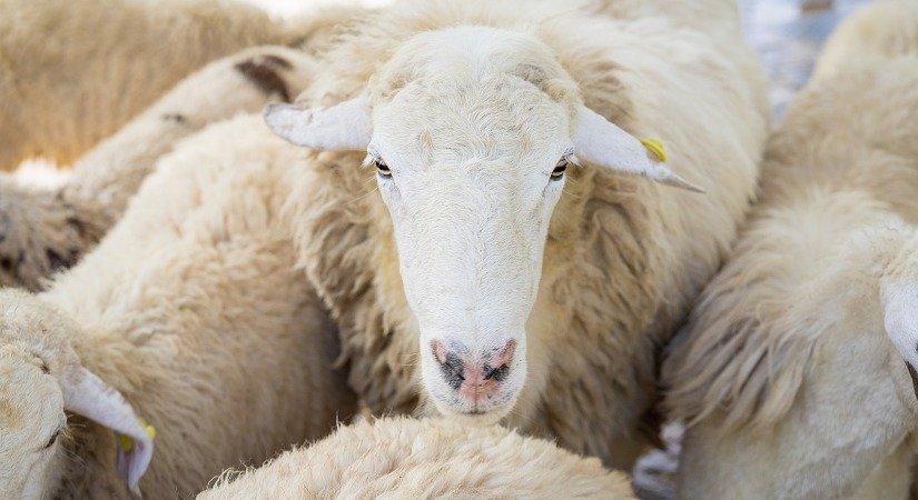 Tuj Koyunu Özellikleri ve Tuj Koyunu Yetiştirme